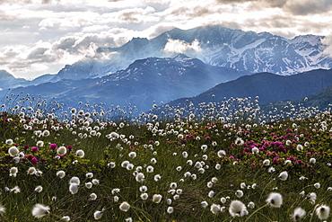 Rhododendrons and cotton grass, Maloja, Bregaglia Valley, Engadine, Canton of Graubunden (Grisons), Switzerland, Europe