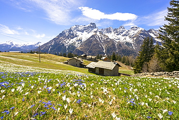 Crocus during spring blooming, Alpe Braccia, Malenco Valley, province of Sondrio, Valtellina, Lombardy, Italy, Europe
