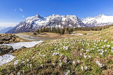 Crocus in bloom, Entova Alp, Malenco Valley, province of Sondrio, Valtellina, Lombardy, Italy, Europe