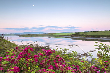 Wild flowers in meadows by the sea, Cahersiveen, County Kerry, Munster, Republic of Ireland, Europe