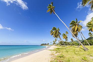 Towering coconut palms stretching towards the Caribbean Sea near Carlisle Bay. Antigua, Leeward Islands, West Indies, Caribbean, Central America