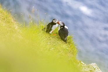 Atlantic puffins on grass, Kalsoy Island, Faroe Islands, Denmark, Europe