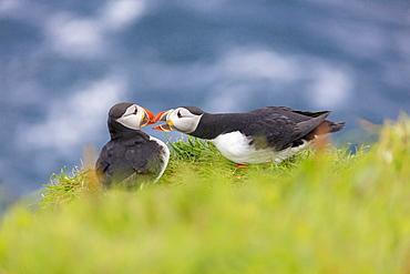 Atlantic puffins on grass, Mykines Island, Faroe Islands, Denmark, Europe
