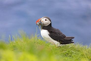 Atlantic puffin with catch in the beak, Mykines Island, Faroe Islands, Denmark, Europe