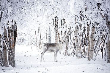 Reindeer in the frozen wood, Levi, Kittila, Lapland, Finland, Europe