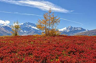 Red plants and Cima Piazzi in the background, Val Vezzola, Valdidentro, Valtellina, Sondrio province, Lombardy, Italy, Europe
