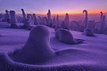Frozen dwarf shrubs at sunset, Riisitunturi National Park, Posio, Lapland, Finland, Europe