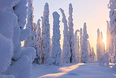 Frozen spruce and pine trees, Riisitunturi National Park, Posio, Lapland, Finland, Europe