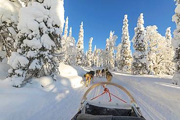 Dog sledding, Kuusamo, Northern Ostrobothnia region, Lapland, Finland, Europe