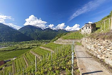 Vineyards and terracing, Bianzone, Sondrio province, Valtellina, Lombardy, Italy, Europe