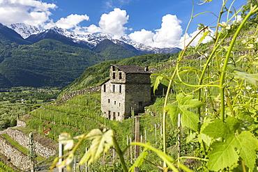 Farmhouse and vineyards, Bianzone, Sondrio province, Valtellina, Lombardy, Italy, Europe