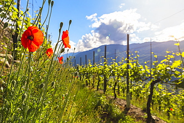 Red poppies and vineyards, Bianzone, Sondrio province, Valtellina, Lombardy, Italy, Europe
