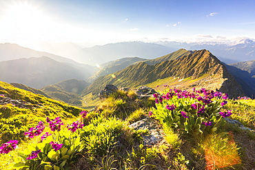 Wild flowers on Monte Azzarini with Monte Pedena and Albaredo Valley in the background, Orobie Alps, Lombardy, Italy, Europe