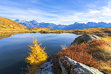 Bernina Group and Pizzo Scalino seen from Lago Arcoglio surrounded by yellow larches, Valmalenco, Valtellina, Lombardy, Italy, Europe