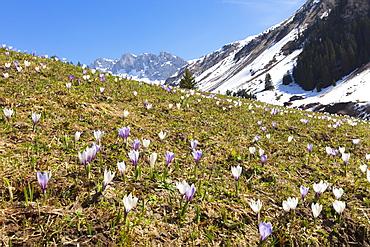 Crocus flowers in bloom, Partnun, Prattigau, Davos, canton of Graubunden, Switzerland, Europe