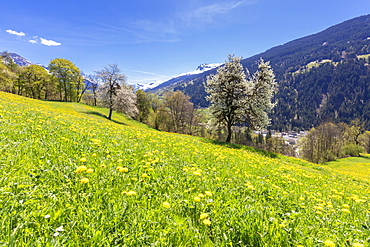Yellow wildflowers on grass fields in spring, Luzein, Prattigau-Davos region, canton of Graubunden, Switzerland, Europe