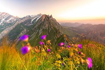 Wild flowers on top of Schafler with the rocky peak Santis in the background, Appenzell Innerrhoden, Switzerland, Europe