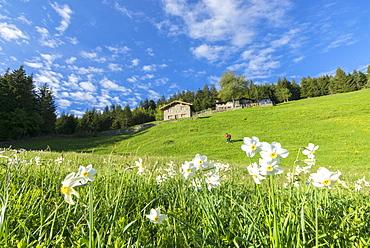 Daffodils (Narcissus) in spring, Olano, Corte, Valgerola, Valtellina, Sondrio province, Lombardy, Italy, Europe