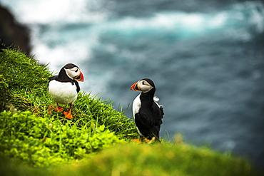 Couple of Atlantic puffins on cliff, Mykines island, Faroe Islands, Denmark, Europe