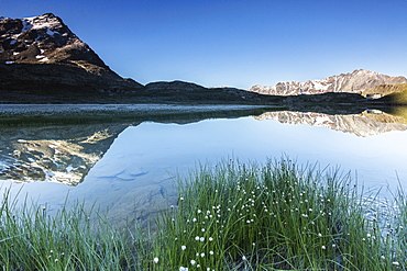 Wild flowers on the shore of Lago Bianco, Gavia Pass, Valfurva, Valtellina, province of Sondrio, Lombardy, Italy, Europe
