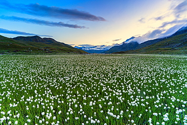 Cotton grass on shores of Lago Bianco, Gavia Pass, Valfurva, Valtellina, Sondrio province, Lombardy, Italy, Europe