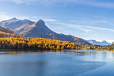 Larch trees on shores of Lake Sils in autumn with Maloja village in background, Upper Engadine, canton of Graubunden, Switzerland, Europe
