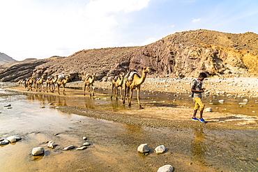 Camel caravan along Wadi Saba canyon towards salt mines, Asso Bhole, Dallol, Danakil Depression, Afar Region, Ethiopia, Africa