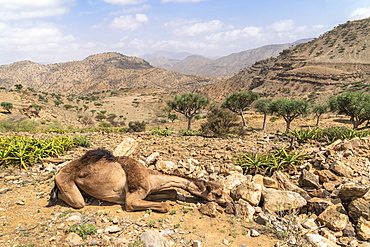 Camel resting in the desert, Dallol, Danakil Depression, Afar Region, Ethiopia, Africa
