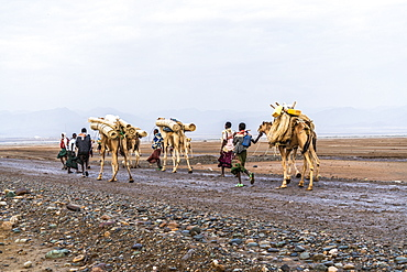 Camels caravan marching to salt mines, Dallol, Danakil Depression, Afar Region, Ethiopia, Africa
