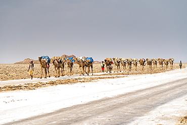 Salt caravan crossing the desert, Dallol, Danakil Depression, Afar Region, Ethiopia, Africa