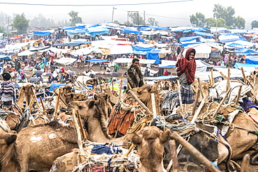 Camels at the livestock market of Bati, Amhara Region, Oromia, Ethiopia, Africa