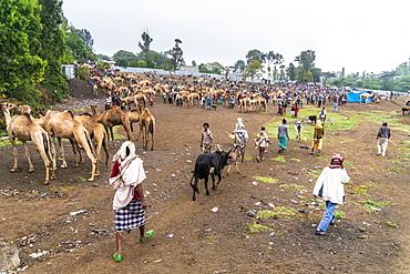 Livestock for sale at the market of Bati, Amhara Region, Oromia, Ethiopia, Africa