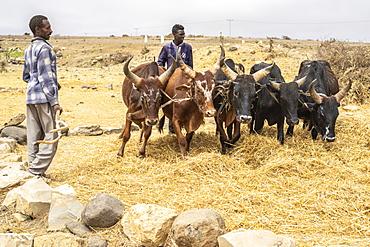 Herders with bulls, Gheralta Mountains, Hawzen, Tigray Region, Ethiopia, Africa