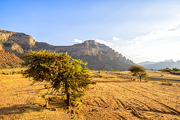 Lone trees in the dry land with Gheralta Mountains in background, Hawzen, Tigray Region, Ethiopia, Africa