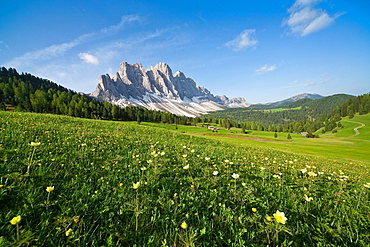 Spring flowers blooming in the fields surrounding the Puez-Odle National Park, Dolomites, South Tyrol, Italy, Europe
