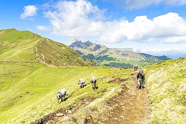 Cows grazing in green pastures along the path from Sassopiatto hut to Alpe di Tires hut, Dolomites, Trentino-Alto Adige, Italy, Europe