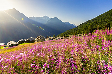 Fields of Willowherb (epilobium) in bloom surrounding the village of Starleggia, Campodolcino, Valchiavenna, Lombardy, Italy, Europe