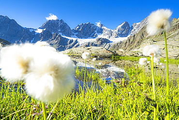 Cotton grass on shores of Forbici lake with Bernina Group mountains in the background, Valmalenco, Valtellina, Lombardy, Italy, Europe