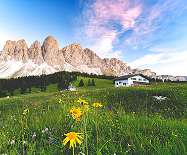 Wildflowers surrounding Glatsch Alm hut with the Odle on background at sunset, Val di Funes, South Tyrol, Dolomites, Italy
