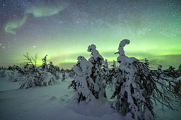Winter forest covered with snow under the green Northern Lights (Aurora Borealis), Pallas-Yllastunturi National Park, Muonio, Lapland, Finland, Europe