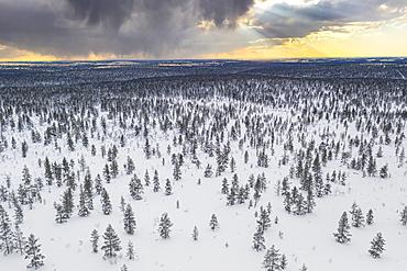 Trees in the snowy landscape of Urho Kekkonen National Park at sunset, aerial view, Saariselka, Inari, Lapland, Finland, Europe