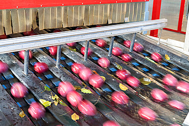 Blurred motion of apples flowing on conveyor belt after the washing process, Valtellina, Sondrio province, Lombardy, Italy