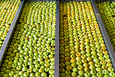 Water tanks full of apples in rows during the washing process, Valtellina, Sondrio province, Lombardy, Italy
