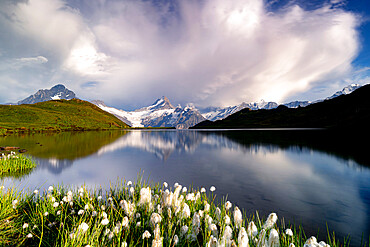 Cotton grass in bloom surrounding Bachalpsee lake and mountains, Grindelwald, Bernese Oberland, Bern Canton, Switzerland, Europe