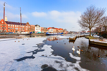 White swans in the frozen water of Spaarne river canal, Haarlem, Amsterdam district, North Holland, The Netherlands
