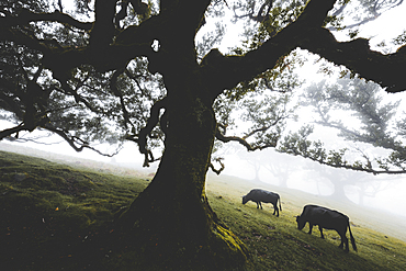 Cattles grazing in the mist inside the ancient Laurissilva forest of Fanal, Madeira island, Portugal