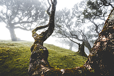 Ancient laurel forest in the fog, Fanal, Madeira island, Portugal