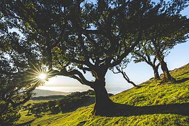 Old laurel tree and green meadows at sunset, Fanal forest, Madeira island, Portugal