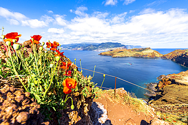 Red poppies along the hiking path to the scenic cliffs of Ponta de Sao Lourenco, Canical, Madeira island, Portugal