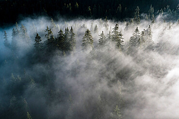Trees of forest hidden by morning fog at dawn, Dolomites, Italy, Europe